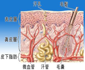skin-structure.jpg
